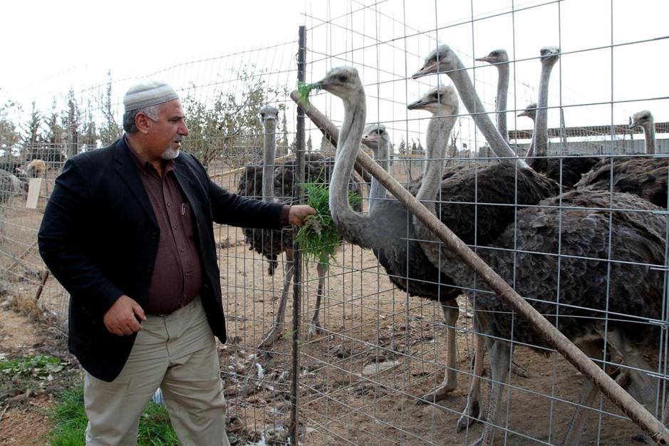 في الضفة الغربية.. أول مزرعة لتربية النعام - aa_picture_20141029_3651168_web