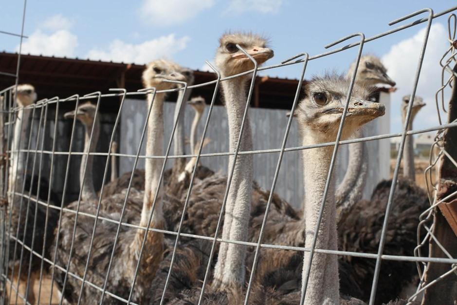 في الضفة الغربية.. أول مزرعة لتربية النعام - aa_picture_20141029_3651173_web