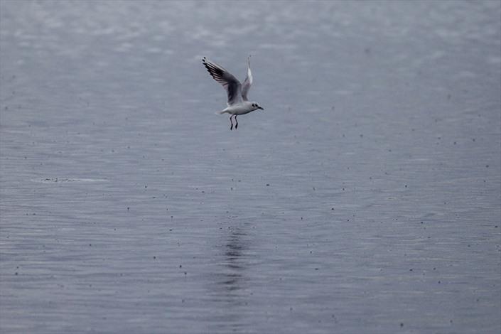 طيور النورس في تونس تبحث عن مأكل لها تحت زخات المطر - 04-  طيور النورس في تونس تبحث عن مأكل لها تحت