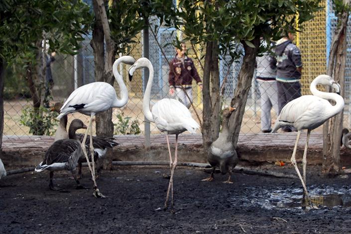 طائر الفلامنجو النادر مهدد في أهوار العراق - 04- طائر الفلامنجو النادر مهدد في أهوار العراق - الاناض