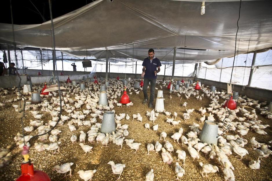 خشية من انتشار انلفونزا الطيور بغزة - 01- خشية من انتشار انلفونزا الطيور بغزة - الاناضول