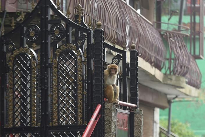 آلاف القردة تشن حربا على مدينة هندية وتروع سكانها