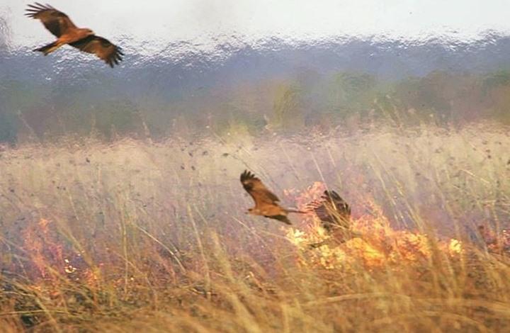 طائر حذّر منه النبي متهم بتأجيج حرائق أستراليا (شاهد)