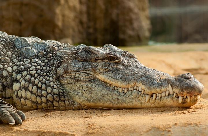 انظر ماذا وجدوا في بطن هذا التمساح.. لن تصدق (فيديو)