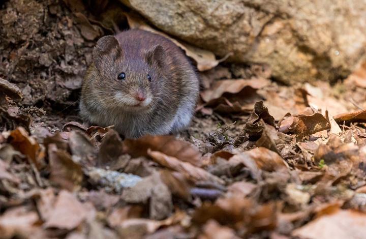 آلاف الفئران تجتاح مناطق في أستراليا وتهدد المحاصيل (شاهد)