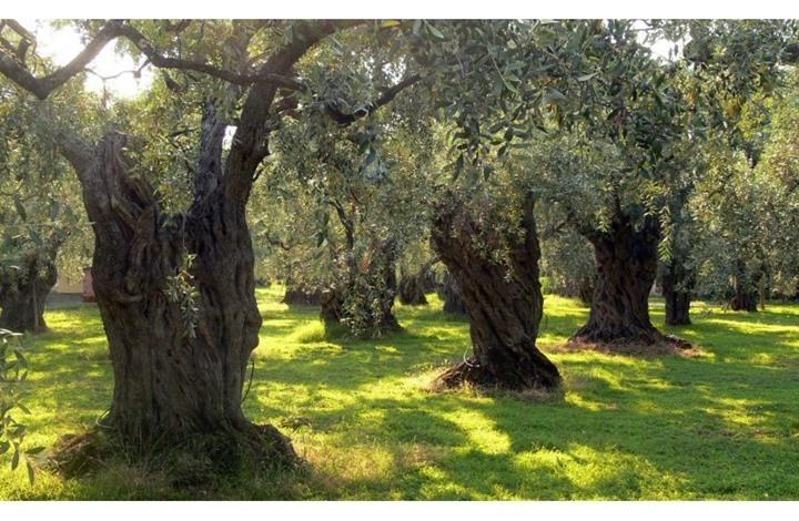 الزيتون.. شجرة مباركة جذورها ضاربة في أرض فلسطين
