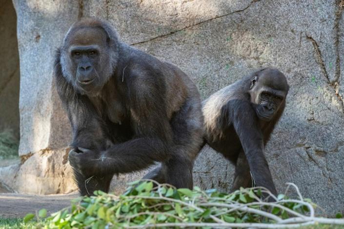 قردة في حديقة حيوانات بأمريكا تتلقى لقاحات كورونا خاصة