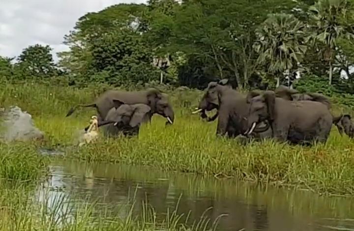 صغير فيل يصارع تمساحا ويفر من موت محقق (فيديو)