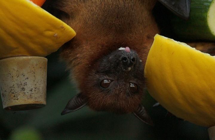 باحثون يعثرون على فيروس تاجي جديد مصدره الخفافيش