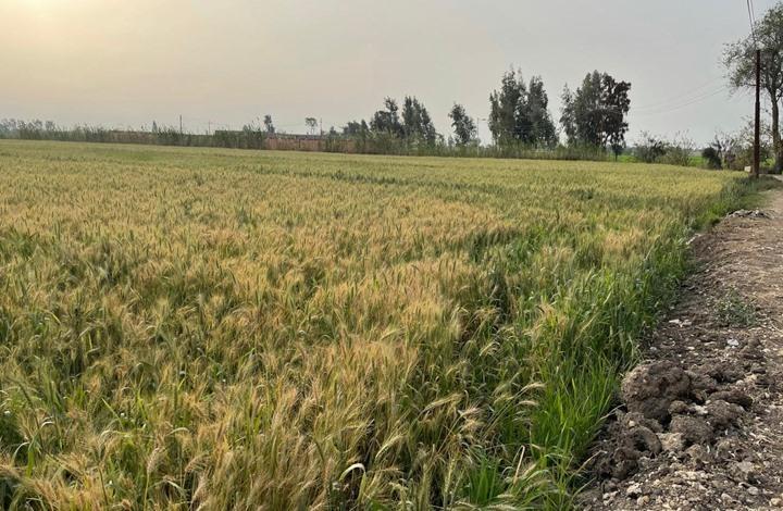 مصر ترفع سعر شراء القمح المحلي.. هل يناسب الفلاحين؟