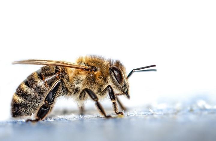 باحثون هولنديون يدربون النحل للكشف عن فيروس كورونا