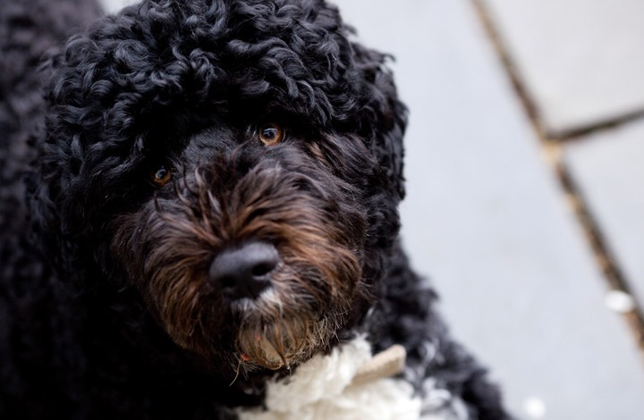 رحيل كلب عائلة أوباما.. والرئيس الأسبق ينعاه على تويتر