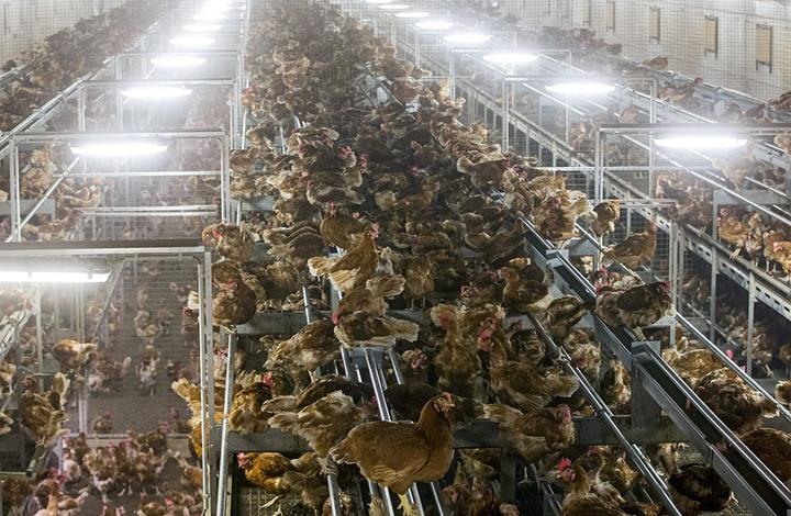 الدجاج يدفع فاتورة البيض الفاسد بأوروبا