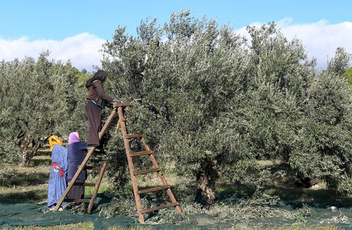 تونس تتوقع عائدات قياسية لصادرات زيت الزيتون