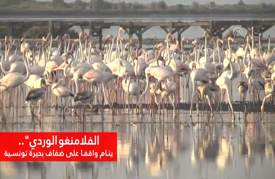 """""""الفلامنغو الوردي"""".. ينام واقفا على ضفاف بحيرة تونسية"""