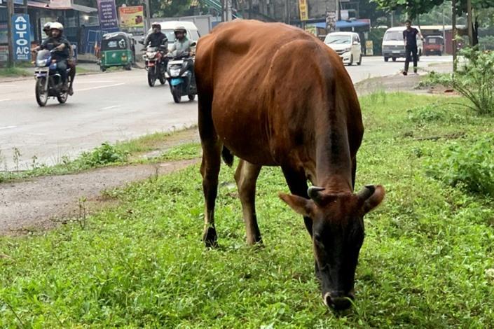 سريلانكا تعتزم حظر ذبح الأبقار لاسترضاء البوذيين