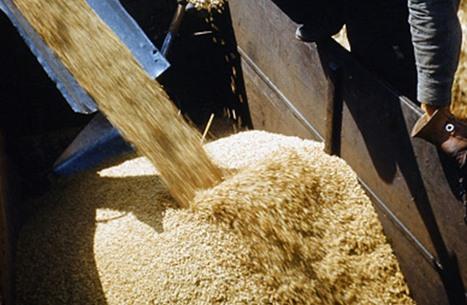 السودان يستعد لاستلام الدفعة الأولى من معونة القمح الأمريكية