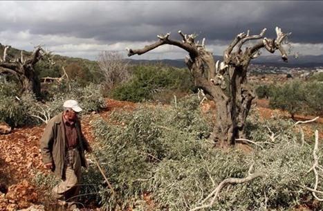 هذا ما يفعله المستوطنون في موسم حصاد الزيتون بالضفة