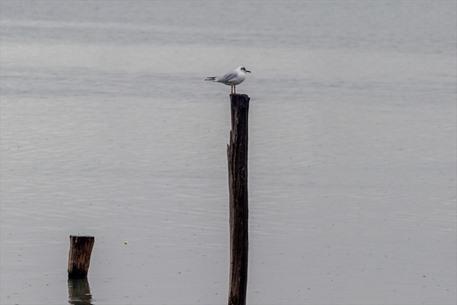 طيور النورس في تونس تبحث عن مأكل لها تحت زخات المطر - 01- طيور النورس في تونس تبحث عن مأكل لها تحت ز