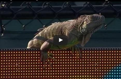 سحلية تتسبب في إيقاف مباراة للتنس ببطولة ميامي (فيديو)
