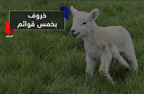 غريب.. ولادة خروف بخمس قوائم في إحدى مزارع بريطانيا!