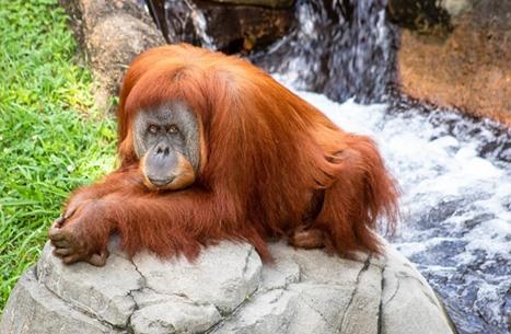 """قردة من نوع """"إنسان الغاب"""" تضع مولودا في حديقة حيوانات أمريكية"""
