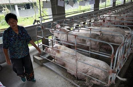 """الصين تعلن تفشي حمى """"الخنازير الأفريقية"""""""