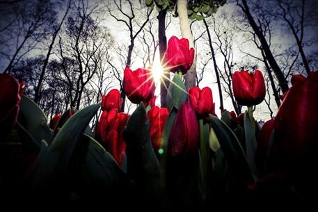 أزهار التوليب تضفي على إسطنبول جمالا خلابا - 03- أزهار التوليب تضفي على إسطنبول جمالا خلابا - الاناض
