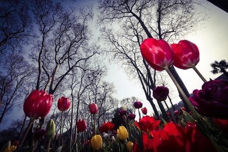 أزهار التوليب تضفي على إسطنبول جمالا خلابا - 05- أزهار التوليب تضفي على إسطنبول جمالا خلابا - الاناض