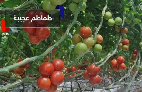 طماطم تركية بجوز الهند..!