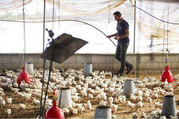 خشية من انتشار انلفونزا الطيور بغزة - 03- خشية من انتشار انلفونزا الطيور بغزة - الاناضول