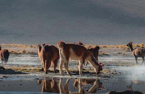 """تقدم في تجارب كورونا على حيوانات """"اللاما"""".. ونتائج مبشرة"""
