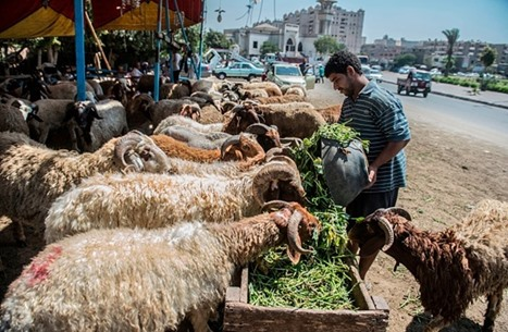 """""""رواج الصكوك"""" يعرقل تعافي أسواق الأضاحي في مصر (شاهد)"""