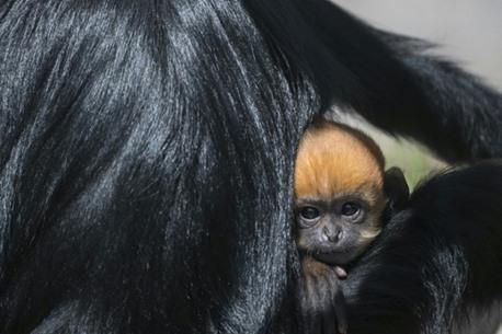 تجارب على القردة بشأن كورونا تعطي نتائج مبشرة