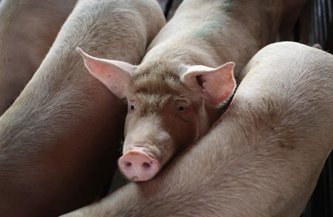 هل ستكون إنفلونزا الخنازير الوباء التالي؟