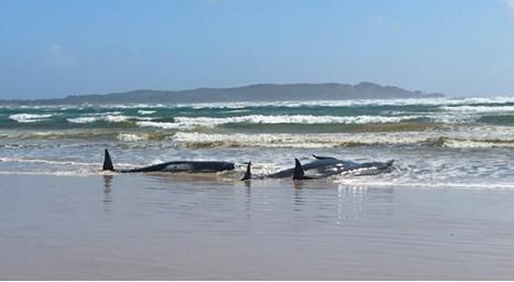 سباق مع الزمن لإنقاذ مئتي حوت جانح عند خليج بأستراليا (شاهد)