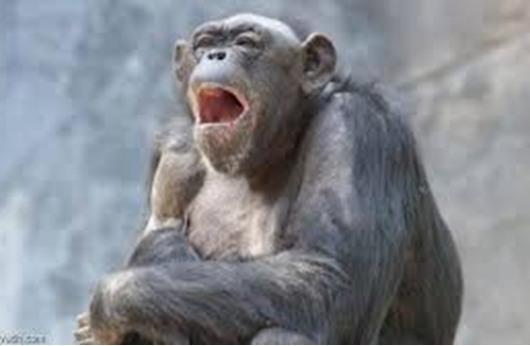 تثاؤب الإنسان يعدي الشمبانزي
