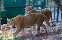 """""""المأوى"""" محمية للحيوانات التي تتعرض لاعتداءات بحدائق الحيوان"""