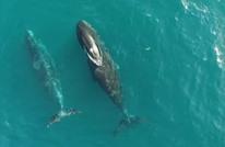 فيديو نادر لحيتان في القطب الشمالي (شاهد)