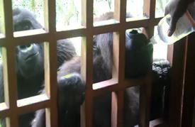 تحديات جمة لحماية حيوانات الغوريلا الجبلية في الكونغو
