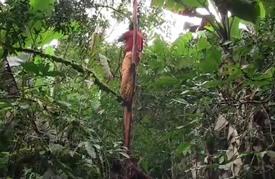 """""""خوخ أفريكانا"""" في الكاميرون.. بلسمٌ مهدّد بالانقراض"""
