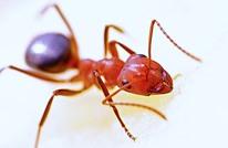 """تقرير: النمل مهندس أبراج على غرار """"إيفل"""" (فيديو)"""