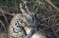 فهد يفترس تمساحا بطريقة مذهلة (شاهد)