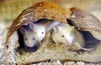 """علماء يابانيون يخططون لإنتاج كائن """"نصفه فأر والآخر إنسان"""""""