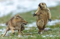 بعضها مبهر والآخر مضحك.. صور ساحرة للحياة البرية (شاهد)