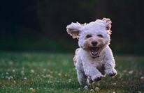 """تعرف على """"فستق"""".. كلب بفراء أخضر مميز (شاهد)"""
