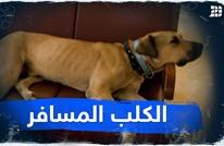 الكلب المسافر