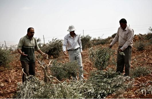 القوات الإسرائيلية تقطع أشجار زيتون جنوب جنين