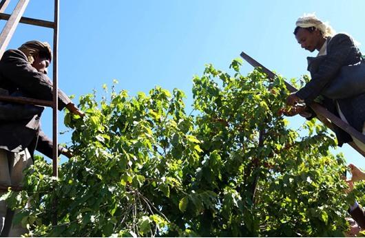 زراعة القهوة تعود إلى اليمن