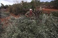 مستوطنون يقطعون أشجار زيتون بالضفة